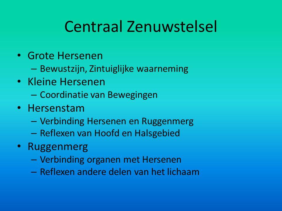 Centraal Zenuwstelsel • Grote Hersenen – Bewustzijn, Zintuiglijke waarneming • Kleine Hersenen – Coordinatie van Bewegingen • Hersenstam – Verbinding