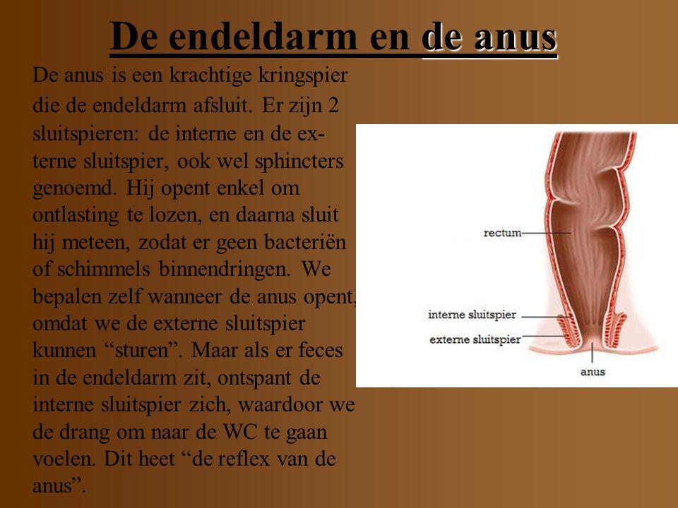 De endeldarm De endeldarm en de anus De endeldarm (ca.12cm) is het laatste deel van de dikke darm. De dikke darm trekt 3 à 4 keer per dag samen. Hierd