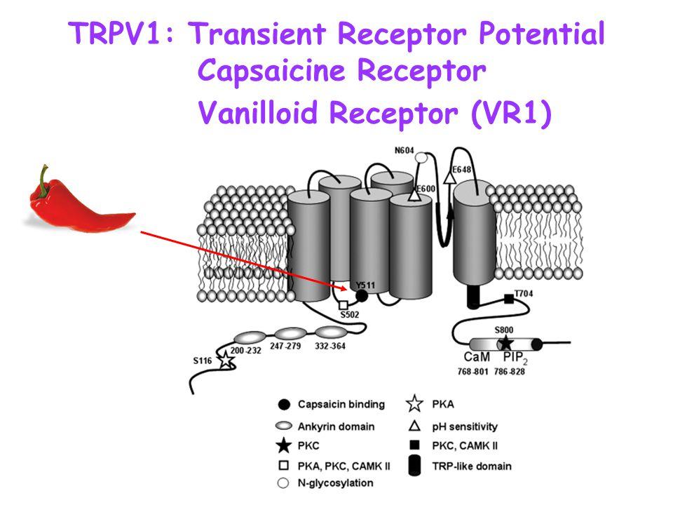 TRPV1: Transient Receptor Potential Capsaicine Receptor Vanilloid Receptor (VR1)