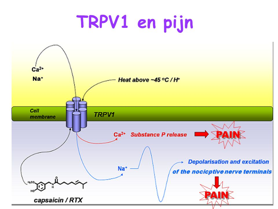TRPV1 en pijn of the nocicptive nerve terminals PAINPAIN PAINPAIN Na + Na +