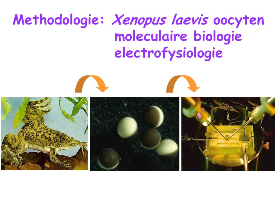 Methodologie: Xenopus laevis oocyten moleculaire biologie electrofysiologie