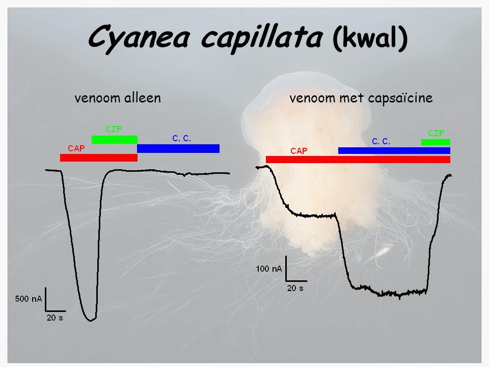 Cyanea capillata (kwal) venoom alleenvenoom met capsaïcine