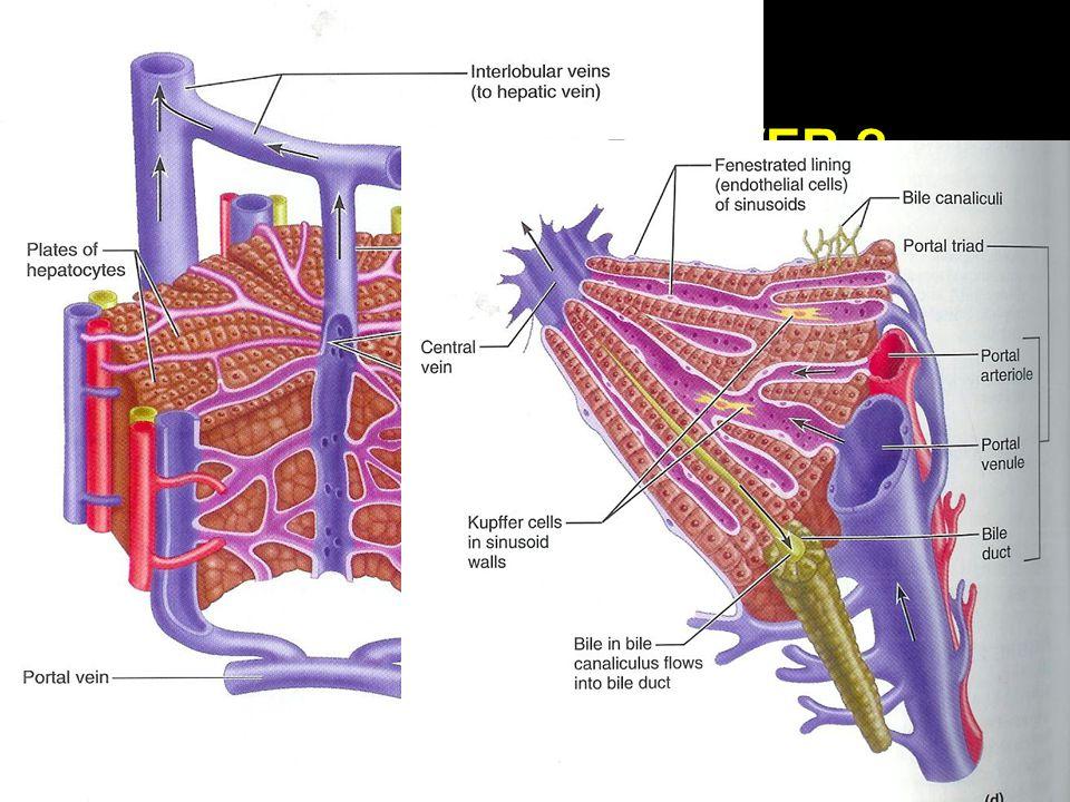 WAT IS EN DOET DE LEVER ? [3] FUNCTIES  Galproductie [600 ml/dag]: - Water, galzouten, electrolyten, bilirubine - Afbraak van oude rode bloedcellen (