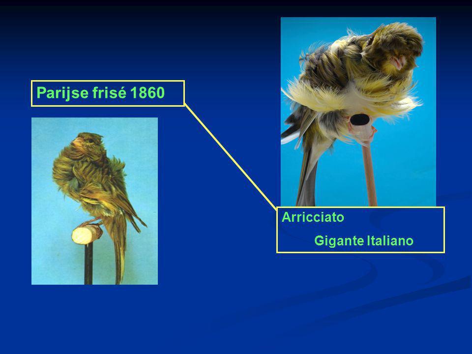 Arricciato Gigante Italiano Parijse frisé 1860