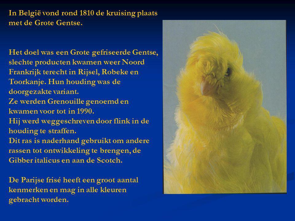 In België vond rond 1810 de kruising plaats met de Grote Gentse. Het doel was een Grote gefriseerde Gentse, slechte producten kwamen weer Noord Frankr
