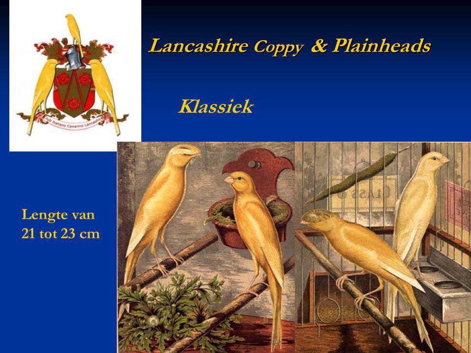 Lancashire Coppy & Plainheads Lancashire Coppy & Plainheads Lengte van 21 tot 23 cm Klassiek