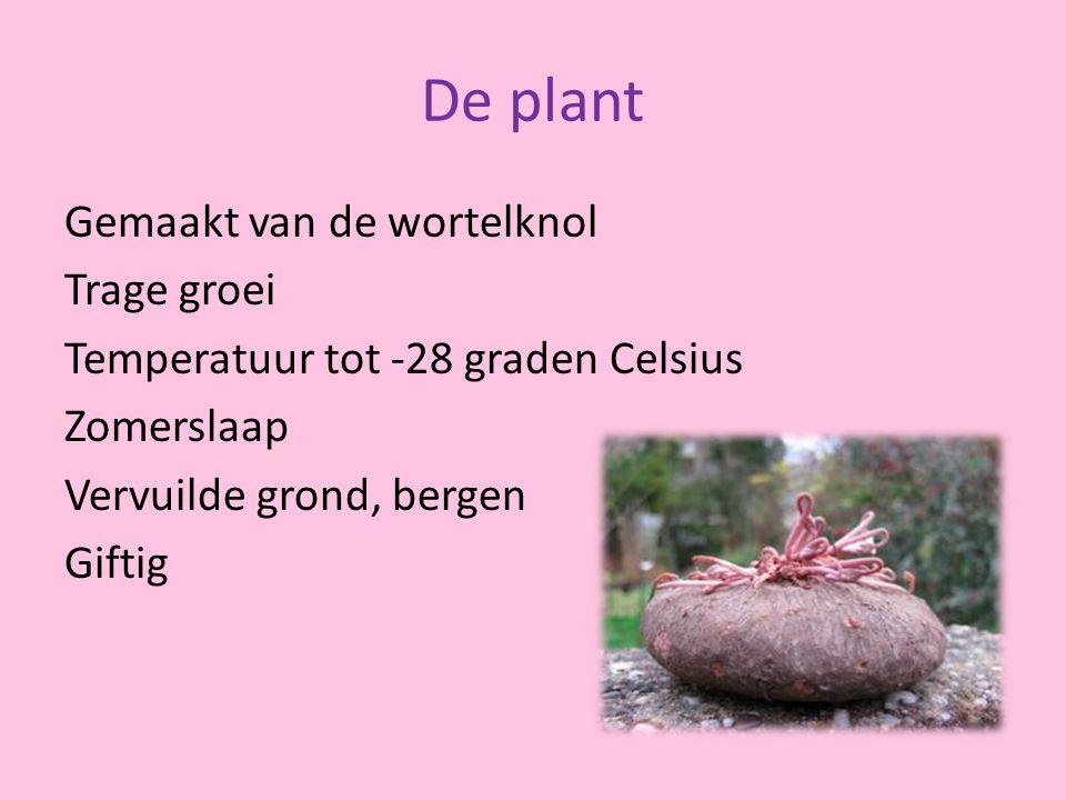 De plant Gemaakt van de wortelknol Trage groei Temperatuur tot -28 graden Celsius Zomerslaap Vervuilde grond, bergen Giftig