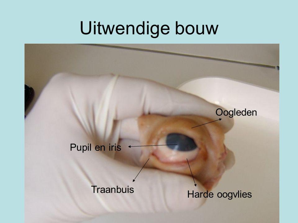 Uitwendige bouw Pupil en iris Oogleden Traanbuis Harde oogvlies