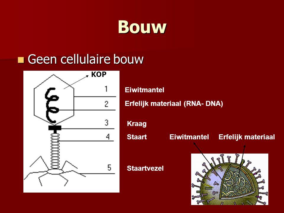 Bouw  Geen cellulaire bouw Eiwitmantel Erfelijk materiaal (RNA- DNA) Kraag Staart Staartvezel EiwitmantelErfelijk materiaal KOP