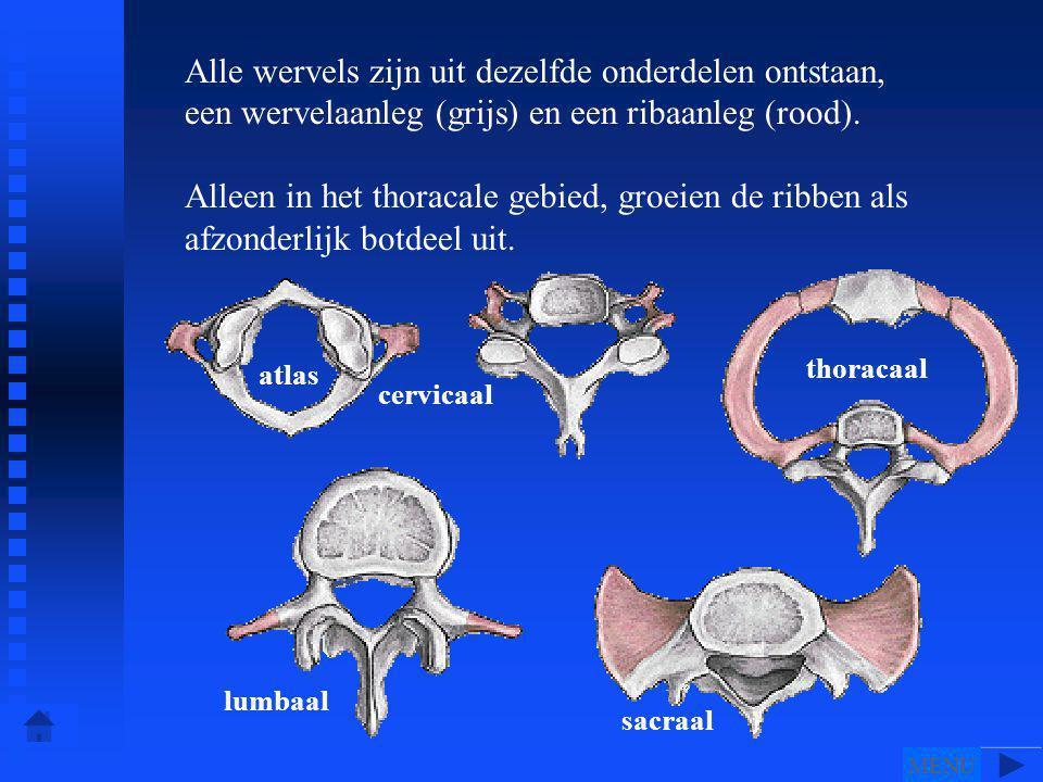 Alle wervels zijn uit dezelfde onderdelen ontstaan, een wervelaanleg (grijs) en een ribaanleg (rood).