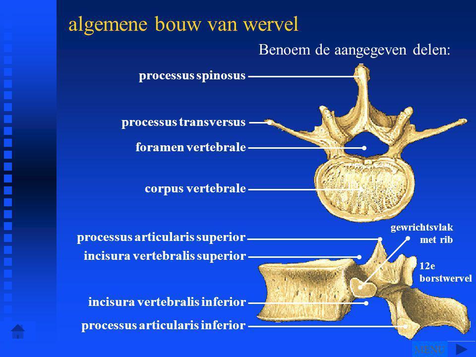 processus spinosus processus transversus foramen vertebrale corpus vertebrale processus articularis superior incisura vertebralis superior incisura vertebralis inferior processus articularis inferior gewrichtsvlak met rib 12e borstwervel algemene bouw van wervel Benoem de aangegeven delen: MENU