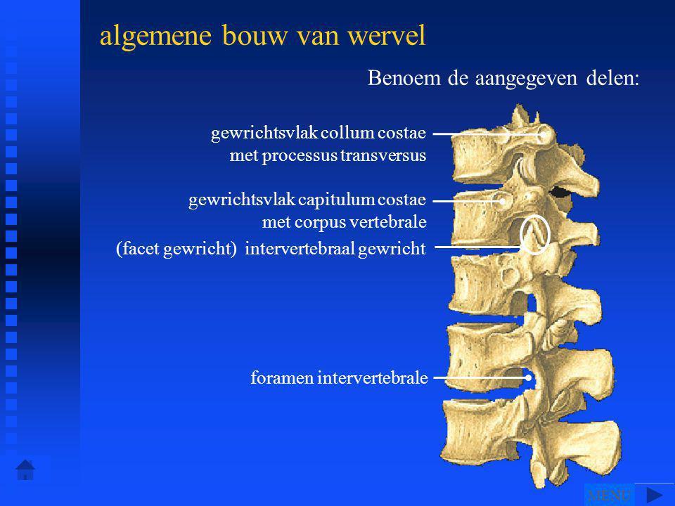 Benoem de aangegeven delen: algemene bouw van wervel gewrichtsvlak collum costae met processus transversus gewrichtsvlak capitulum costae met corpus vertebrale (facet gewricht) intervertebraal gewricht foramen intervertebrale MENU