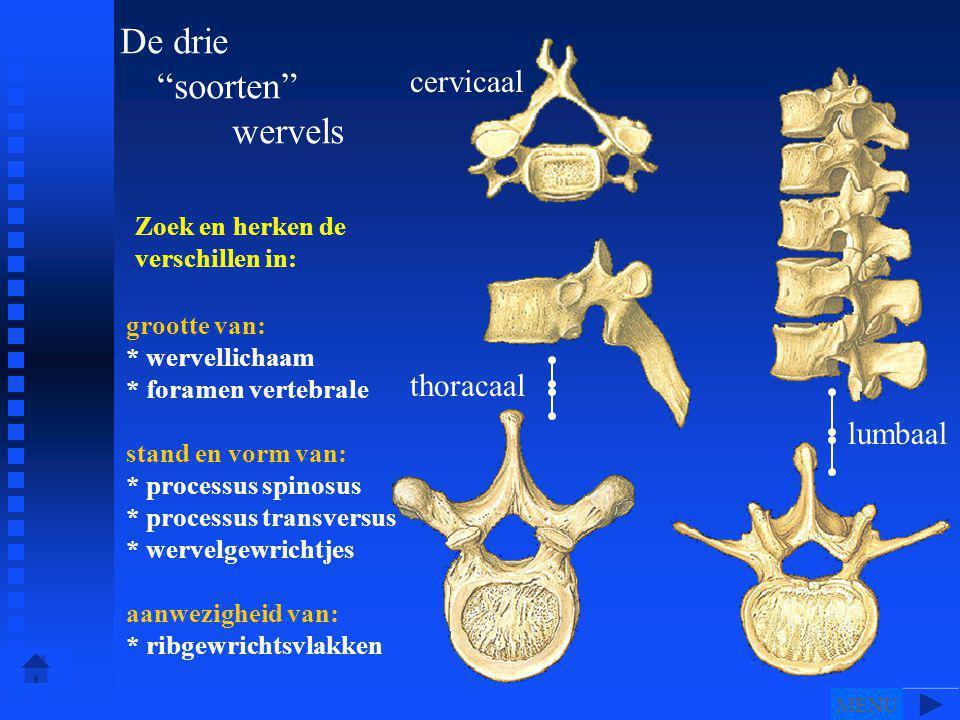 Zoek en herken de verschillen in: grootte van: * wervellichaam * foramen vertebrale stand en vorm van: * processus spinosus * processus transversus * wervelgewrichtjes aanwezigheid van: * ribgewrichtsvlakken lumbaal thoracaal cervicaal De drie soorten wervels MENU