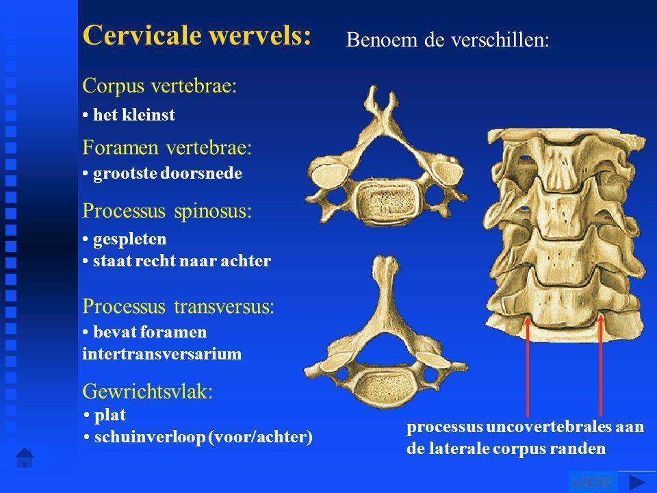 • het kleinst • grootste doorsnede • gespleten • staat recht naar achter • bevat foramen intertransversarium Benoem de verschillen: Cervicale wervels: Corpus vertebrae: Foramen vertebrae: Processus spinosus: Processus transversus: Gewrichtsvlak: • plat • schuinverloop (voor/achter) processus uncovertebrales aan de laterale corpus randen • • • • • • • • • • • MENU