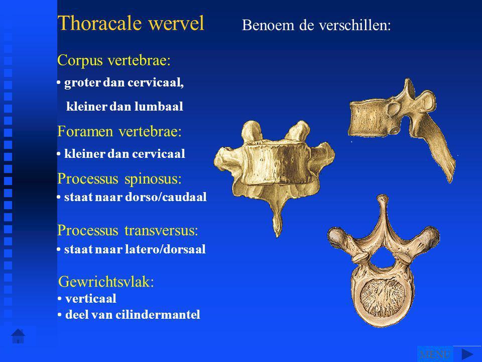 Benoem de verschillen: Thoracale wervel Corpus vertebrae: Foramen vertebrae: Processus spinosus: Processus transversus: Gewrichtsvlak: • groter dan cervicaal, kleiner dan lumbaal • kleiner dan cervicaal • staat naar dorso/caudaal • staat naar latero/dorsaal • • • • • • z• • z • verticaal • deel van cilindermantel MENU