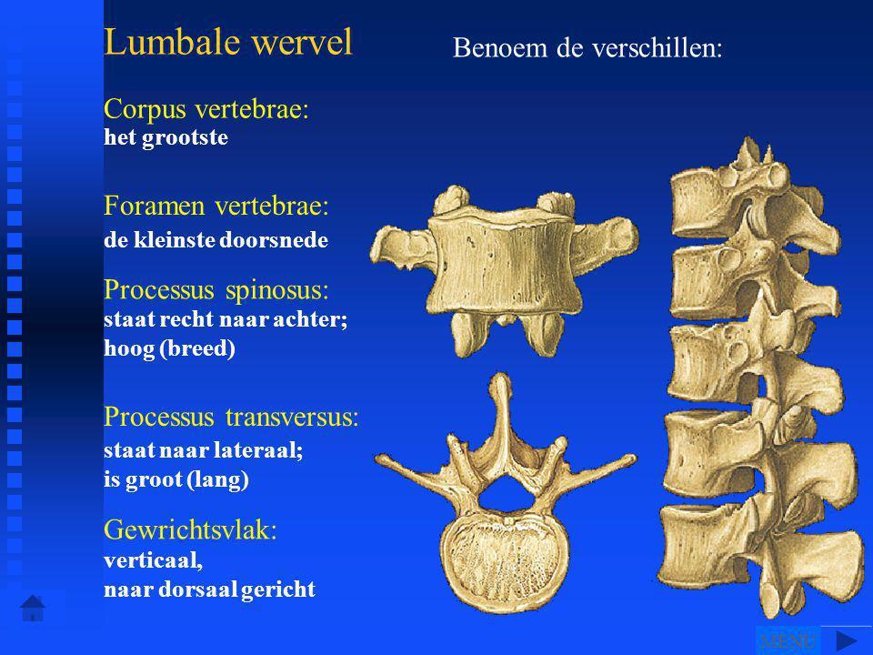 Lumbale wervel Corpus vertebrae: Foramen vertebrae: Processus spinosus: Processus transversus: Gewrichtsvlak: Benoem de verschillen: het grootste de kleinste doorsnede staat recht naar achter; hoog (breed) staat naar lateraal; is groot (lang) verticaal, naar dorsaal gericht MENU