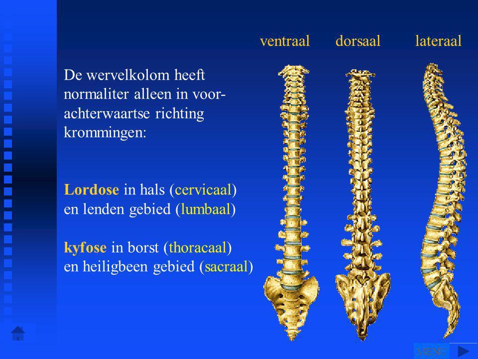 ventraaldorsaallateraal De wervelkolom heeft normaliter alleen in voor- achterwaartse richting krommingen: Lordose in hals (cervicaal) en lenden gebied (lumbaal) kyfose in borst (thoracaal) en heiligbeen gebied (sacraal) MENU