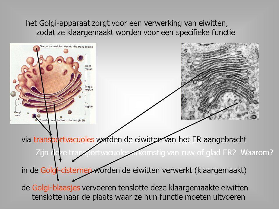 het Golgi-apparaat zorgt voor een verwerking van eiwitten, zodat ze klaargemaakt worden voor een specifieke functie via transportvacuoles worden de ei