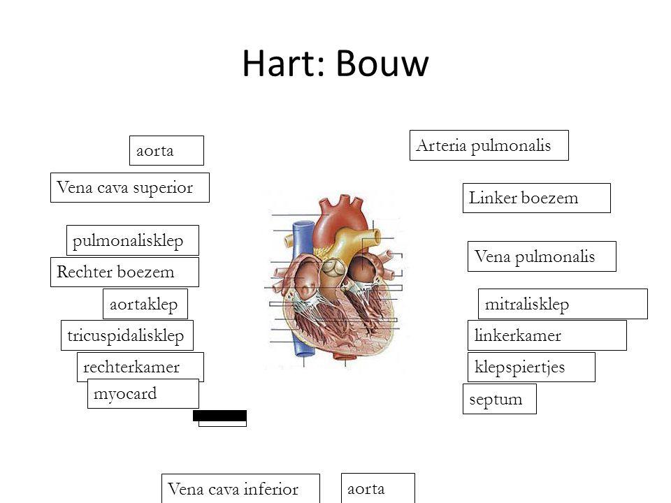 Hart: Bouw aorta Vena cava superior Vena pulmonalis Linker boezem Arteria pulmonalis aorta septum klepspiertjes linkerkamer mitralisklepaortaklep tricuspidalisklep rechterkamer myocard pulmonalisklep Rechter boezem Vena cava inferior
