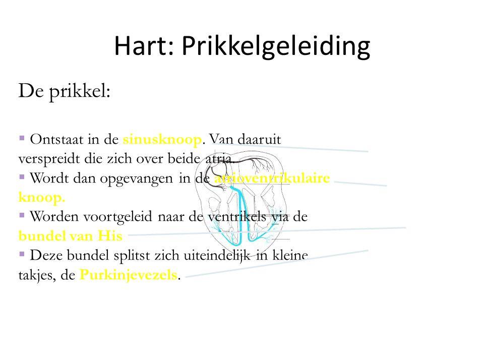 Hart: Prikkelgeleiding De prikkel:  Ontstaat in de sinusknoop. Van daaruit verspreidt die zich over beide atria.  Wordt dan opgevangen in de atriove