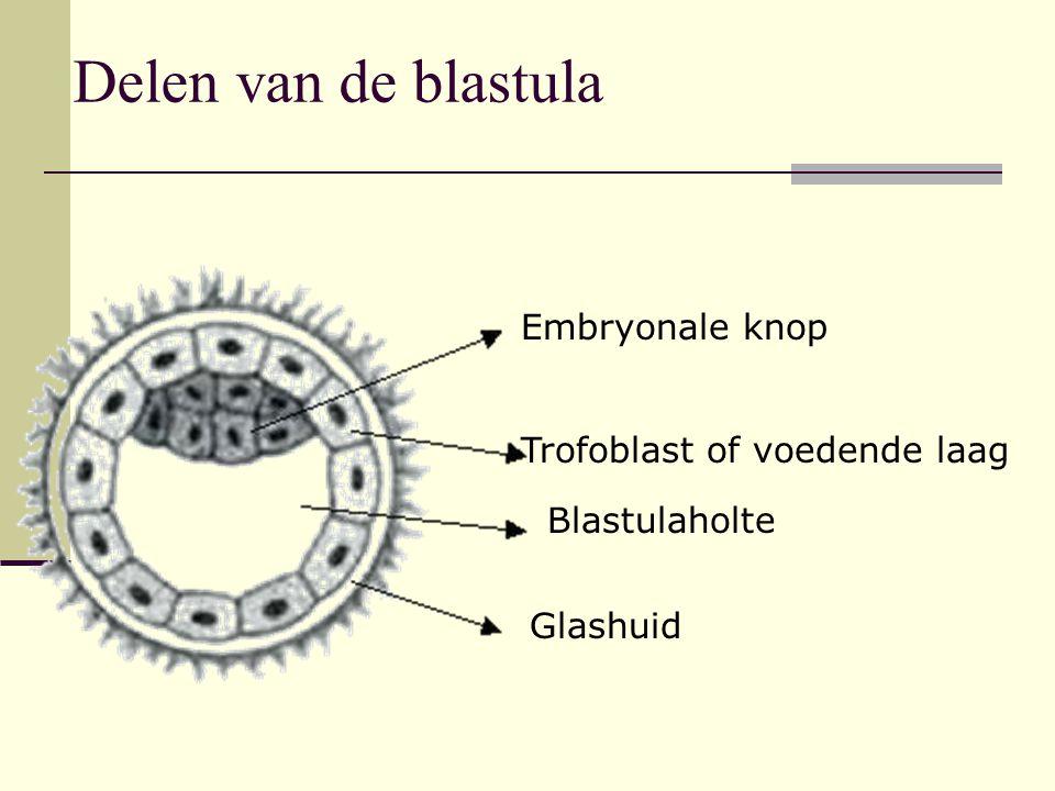 Delen van de blastula Embryonale knop Trofoblast of voedende laag Blastulaholte Glashuid