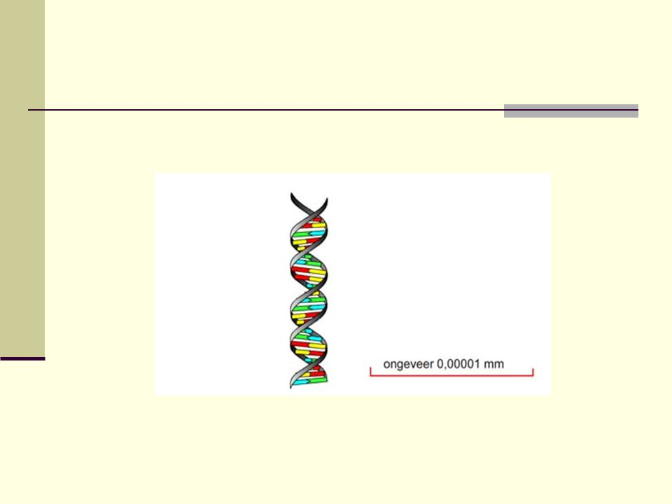  Volgorde van de nucleotiden bepaalt de volgorde van de aminozuren in het eiwit.