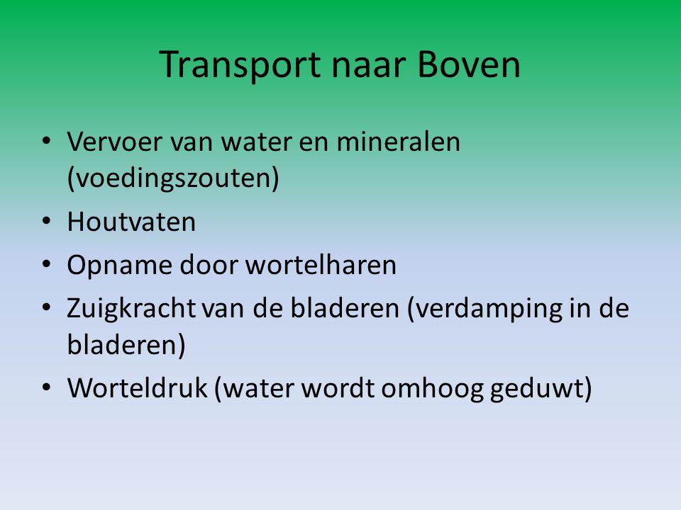 Transport naar Boven • Vervoer van water en mineralen (voedingszouten) • Houtvaten • Opname door wortelharen • Zuigkracht van de bladeren (verdamping