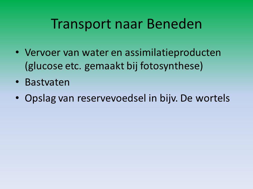 Transport naar Beneden • Vervoer van water en assimilatieproducten (glucose etc. gemaakt bij fotosynthese) • Bastvaten • Opslag van reservevoedsel in