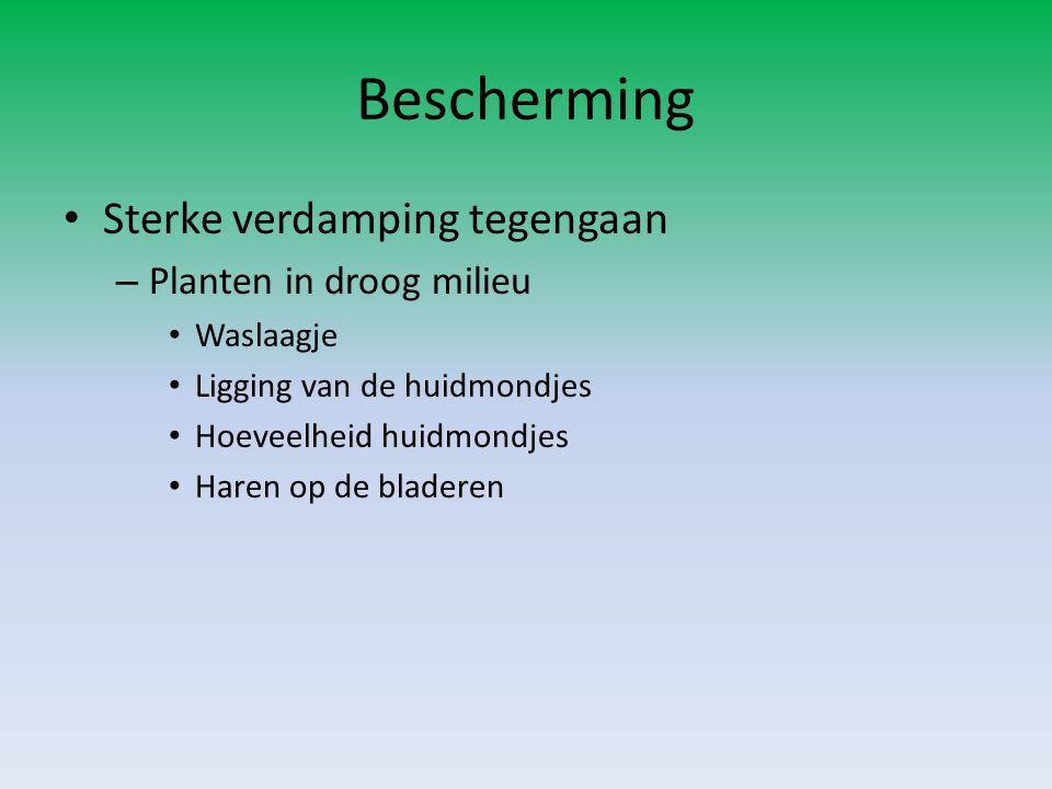 Bescherming • Sterke verdamping tegengaan – Planten in droog milieu • Waslaagje • Ligging van de huidmondjes • Hoeveelheid huidmondjes • Haren op de b
