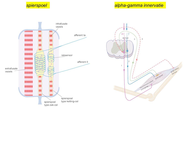spierspoelalpha-gamma innervatie
