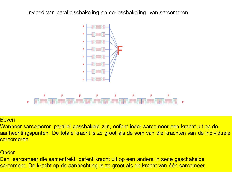 Invloed van parallelschakeling en serieschakeling van sarcomeren Boven Wanneer sarcomeren parallel geschakeld zijn, oefent ieder sarcomeer een kracht