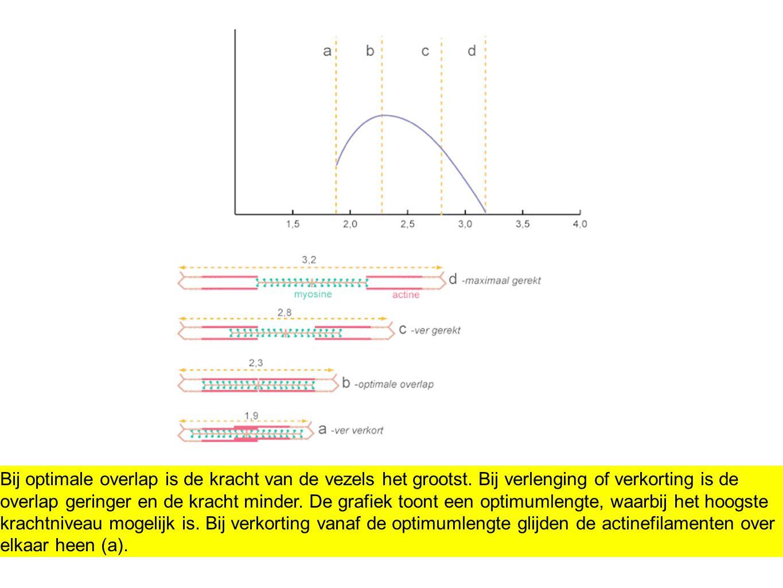 Bij optimale overlap is de kracht van de vezels het grootst. Bij verlenging of verkorting is de overlap geringer en de kracht minder. De grafiek toont