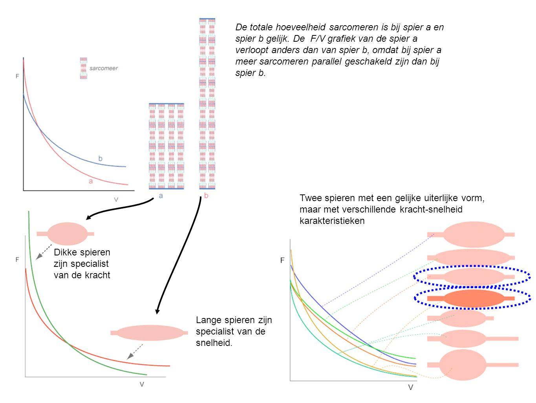 De totale hoeveelheid sarcomeren is bij spier a en spier b gelijk. De F/V grafiek van de spier a verloopt anders dan van spier b, omdat bij spier a me