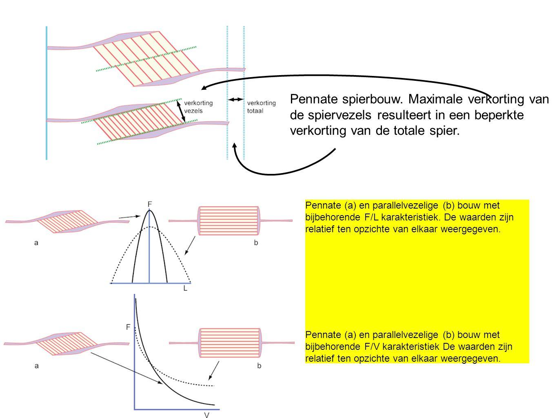 Pennate spierbouw. Maximale verkorting van de spiervezels resulteert in een beperkte verkorting van de totale spier. Pennate (a) en parallelvezelige (