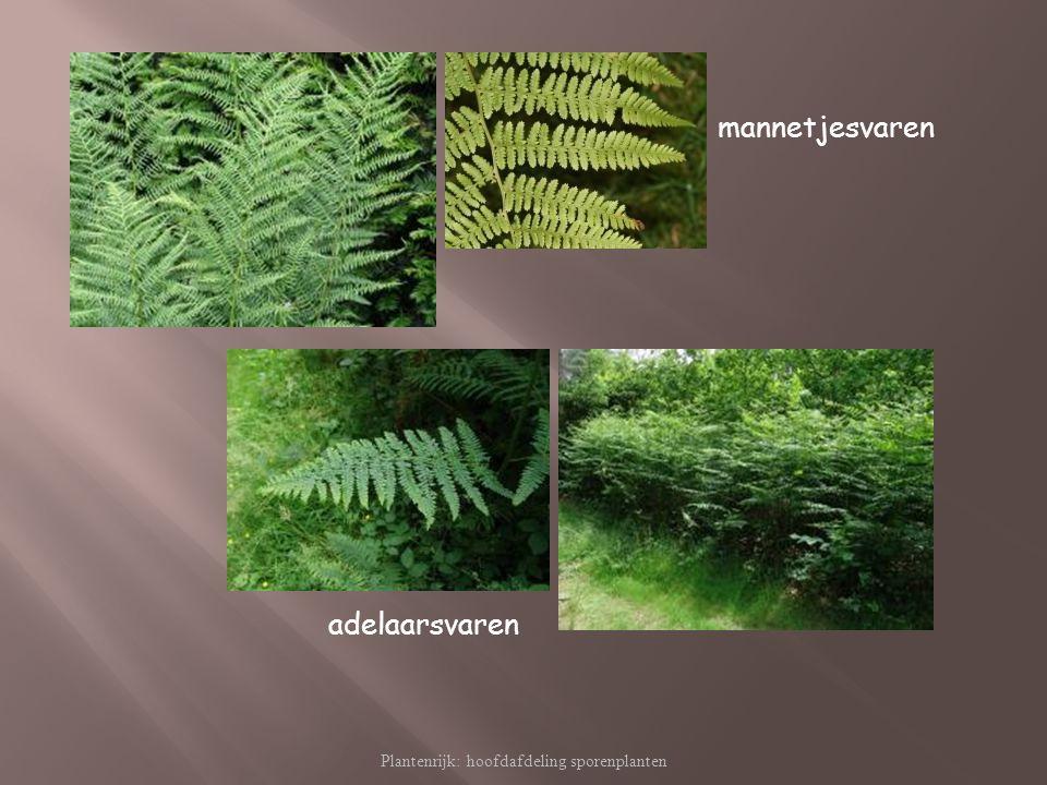 Plantenrijk: hoofdafdeling sporenplanten mannetjesvaren adelaarsvaren
