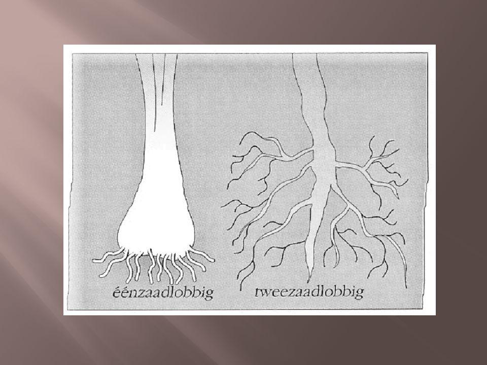 Plantenrijk: hoofdafdeling zaadplanten, afdeling zaadplanten, onderafdeling bedektzadigen We delen de bedektzadigen op in twee klassen: zaadlob aantal zaadlobben nervatuur wortelstelsel voorbeelden 12 éénzaadlobbigentweezaadlobbigen parallelnervigveer- of handnervig bijwortelshoofdwortel met zijwortels gras, maïs, preibloemen