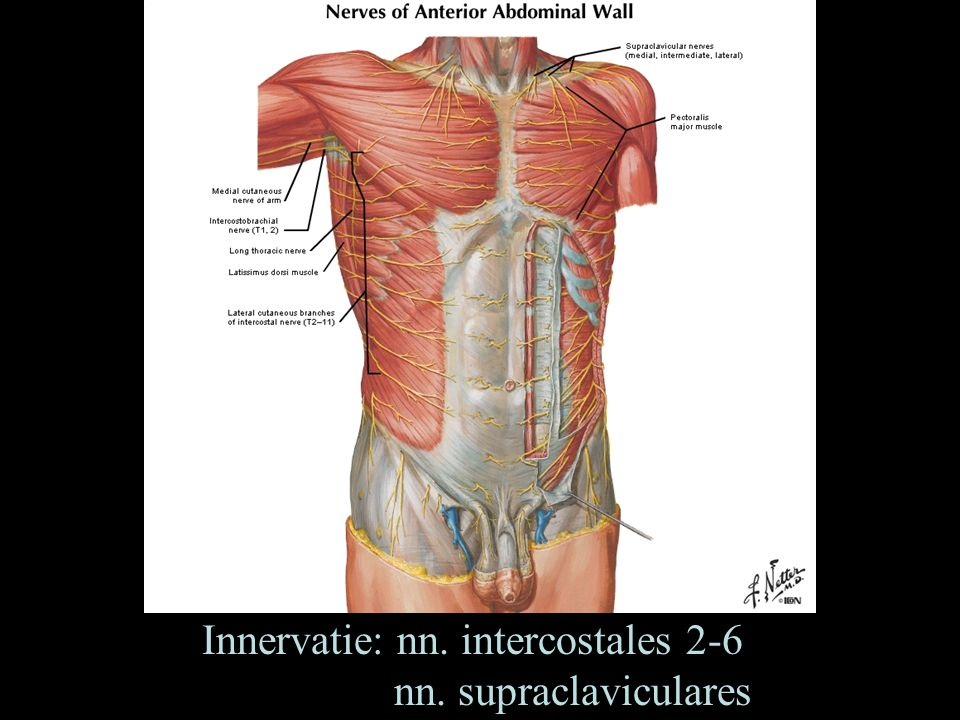 Innervatie: nn. intercostales 2-6 nn. supraclaviculares