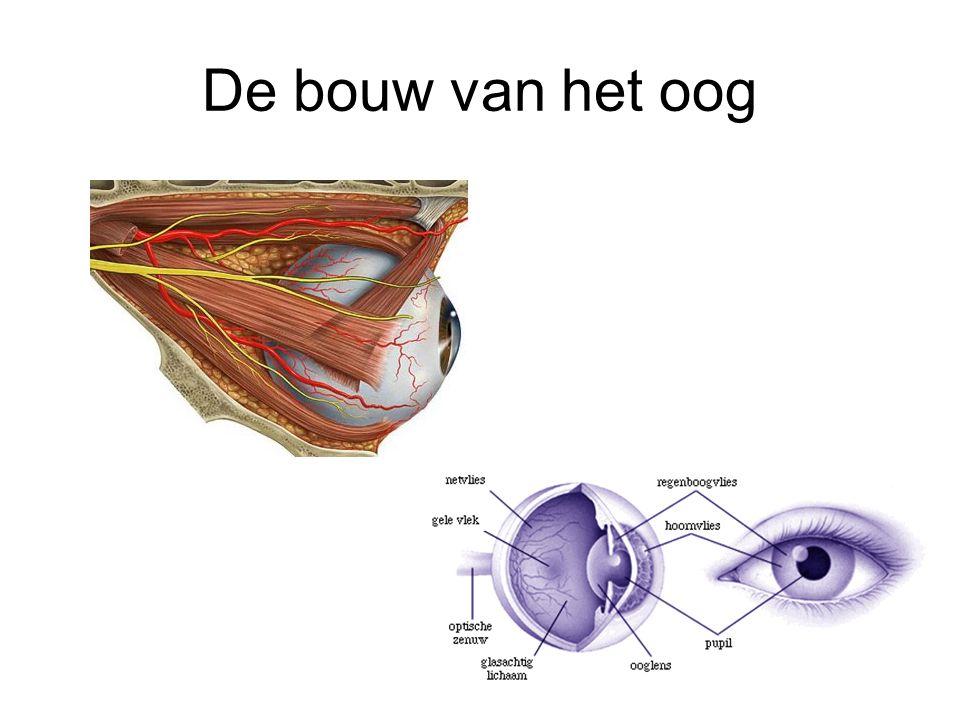 Pupil reflex •Als de hoeveelheid licht dat op het oog valt afneemt –Lengtespieren trekken de pupil open •Als de hoeveelheid licht toeneemt –Kringspiertjes trekken samen en opening vernauwt