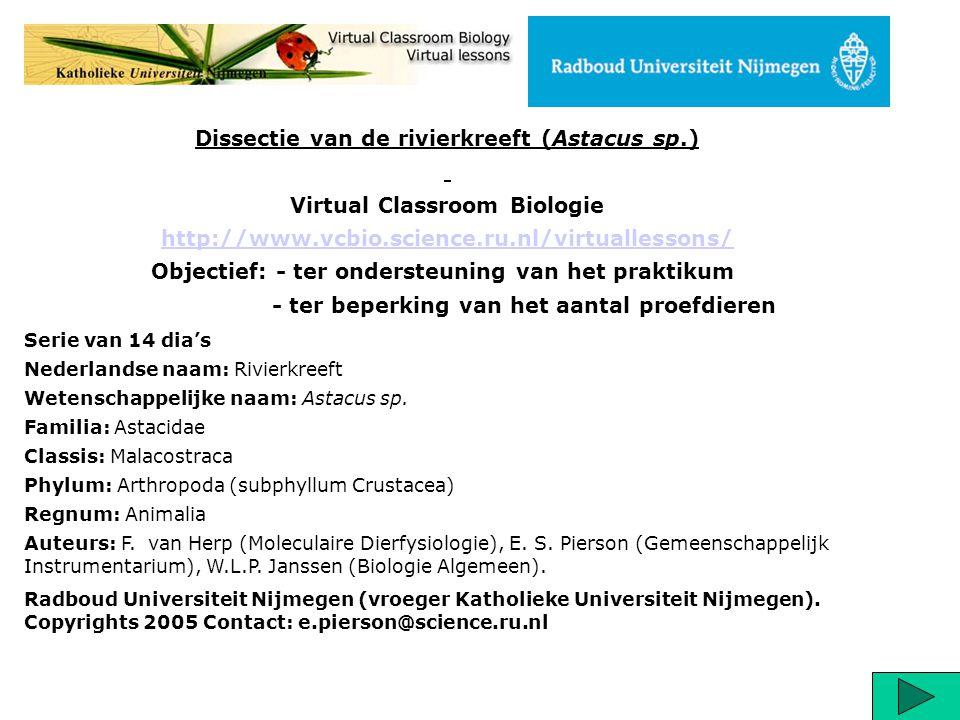 Serie van 14 dia's Nederlandse naam: Rivierkreeft Wetenschappelijke naam: Astacus sp. Familia: Astacidae Classis: Malacostraca Phylum: Arthropoda (sub