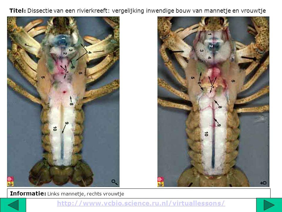 Titel: Dissectie van een rivierkreeft: vergelijking inwendige bouw van mannetje en vrouwtje Informatie: Links mannetje, rechts vrouwtje http://www.vcb
