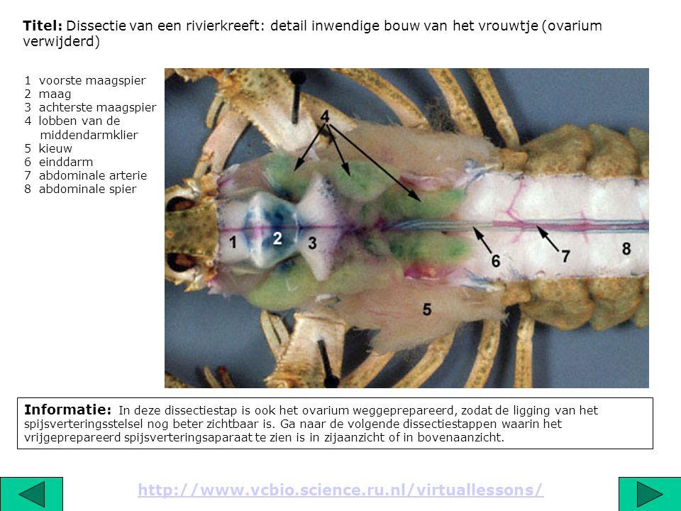 Titel: Dissectie van een rivierkreeft: detail inwendige bouw van het vrouwtje (ovarium verwijderd) Informatie: In deze dissectiestap is ook het ovariu