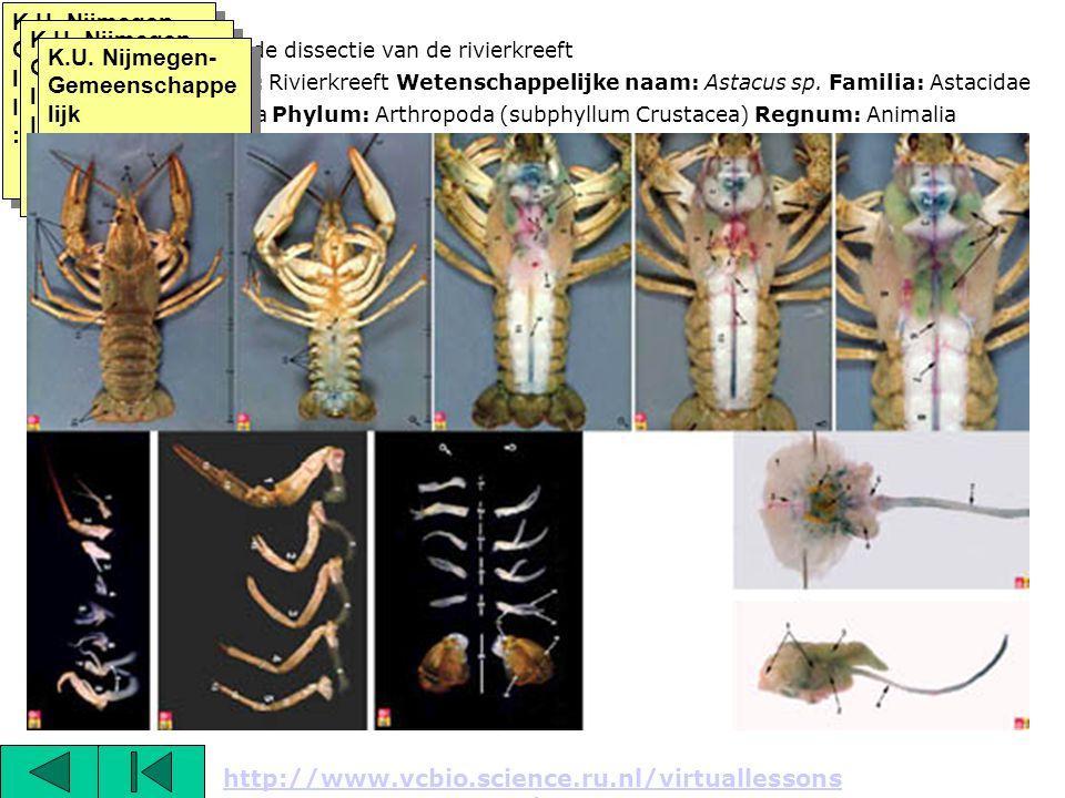 Titel: Overzicht van de dissectie van de rivierkreeft Nederlandse naam: Rivierkreeft Wetenschappelijke naam: Astacus sp. Familia: Astacidae Classis: M