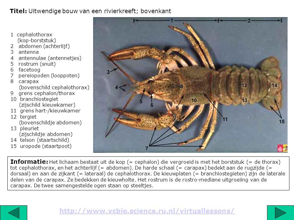 Titel: Uitwendige bouw van een rivierkreeft: onderkant mannetje Informatie: De maxillipeden zijn oorspronkelijk de eerste drie aanhangsels van de thorax, vandaar de naam thoracopoden.
