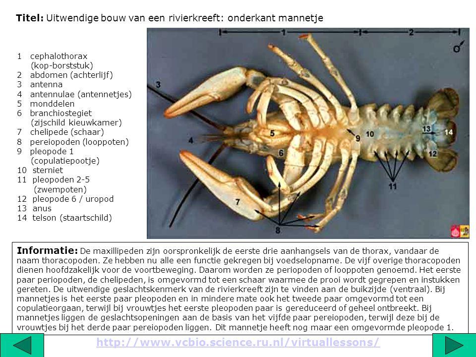Titel: Uitwendige bouw van een rivierkreeft: onderkant mannetje Informatie: De maxillipeden zijn oorspronkelijk de eerste drie aanhangsels van de thor
