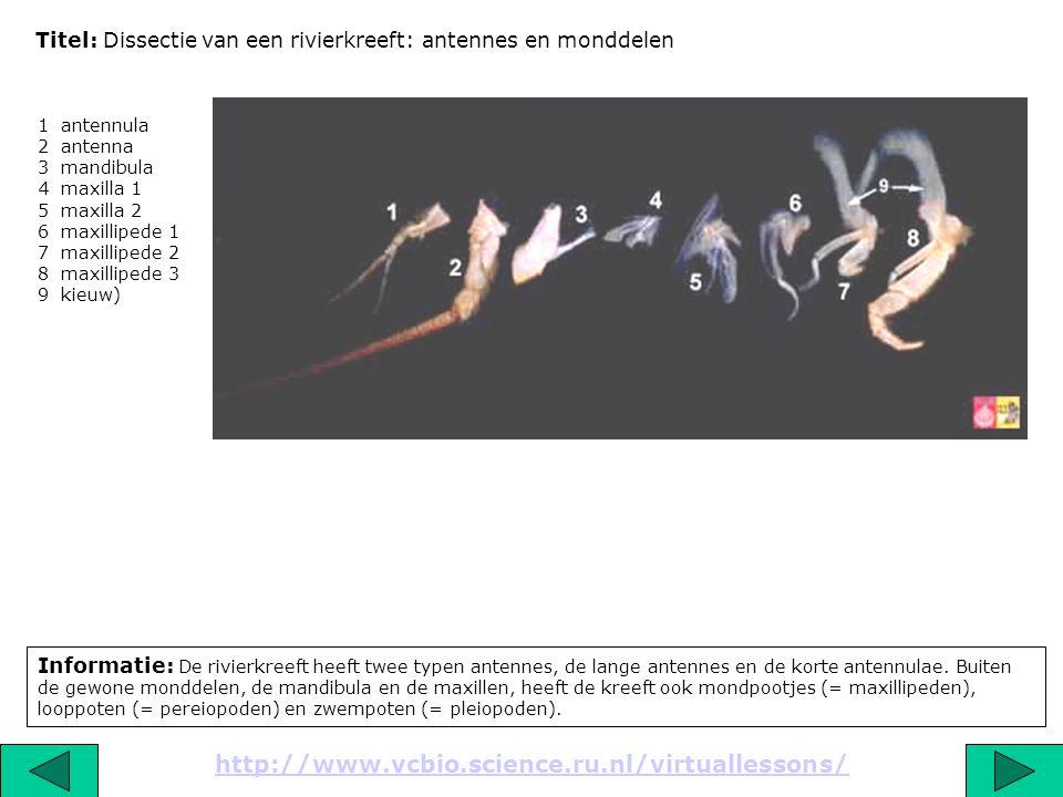 Titel: Dissectie van een rivierkreeft: antennes en monddelen Informatie: De rivierkreeft heeft twee typen antennes, de lange antennes en de korte ante