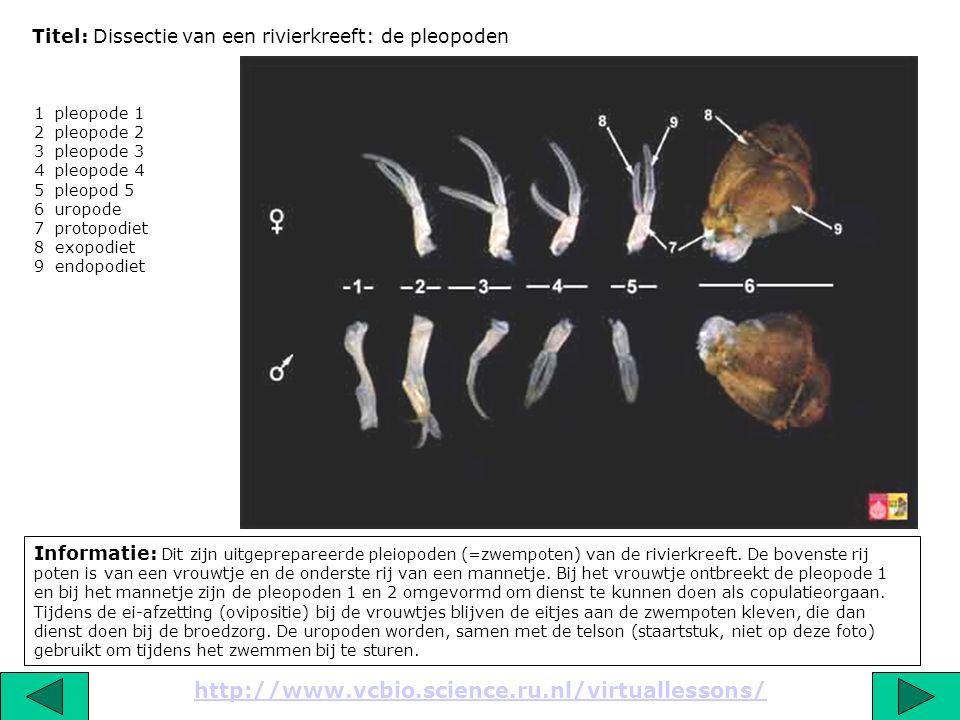 Titel: Dissectie van een rivierkreeft: de pleopoden Informatie: Dit zijn uitgeprepareerde pleiopoden (=zwempoten) van de rivierkreeft. De bovenste rij