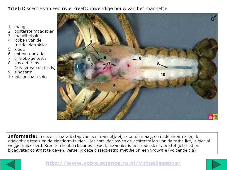Titel: Dissectie van een rivierkreeft: inwendige bouw van het mannetje Informatie: In deze preparatiestap van een mannetje zijn o.a. de maag, de midde