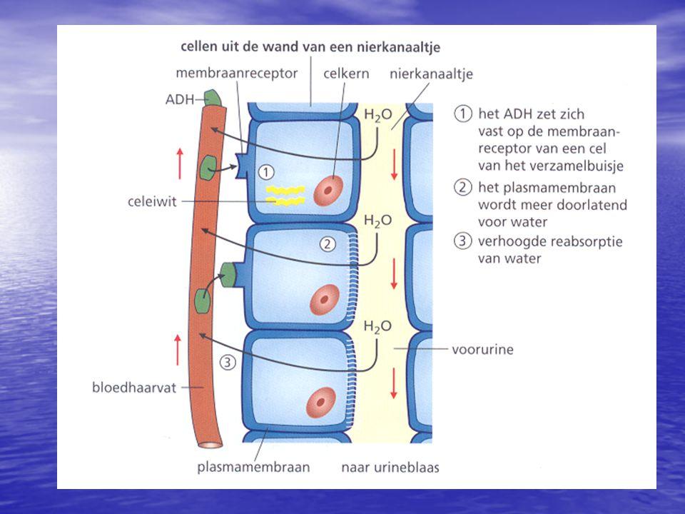 Water teveel: •B•B•B•Bloedvolume   bloeddruk  •O•O•O•Osmotische druk bloed  •B•B•B•Baroreceptoren boezems  •R•R•R•Reactie door hersenen: ADH  •U•U•U•Uitgerekte boezems: ANP  •P•P•P•Permeabiliteit nierkanaaltjes  •R•R•R•Reabsorptie van H2O  •M•M•M•Meer urineproductie