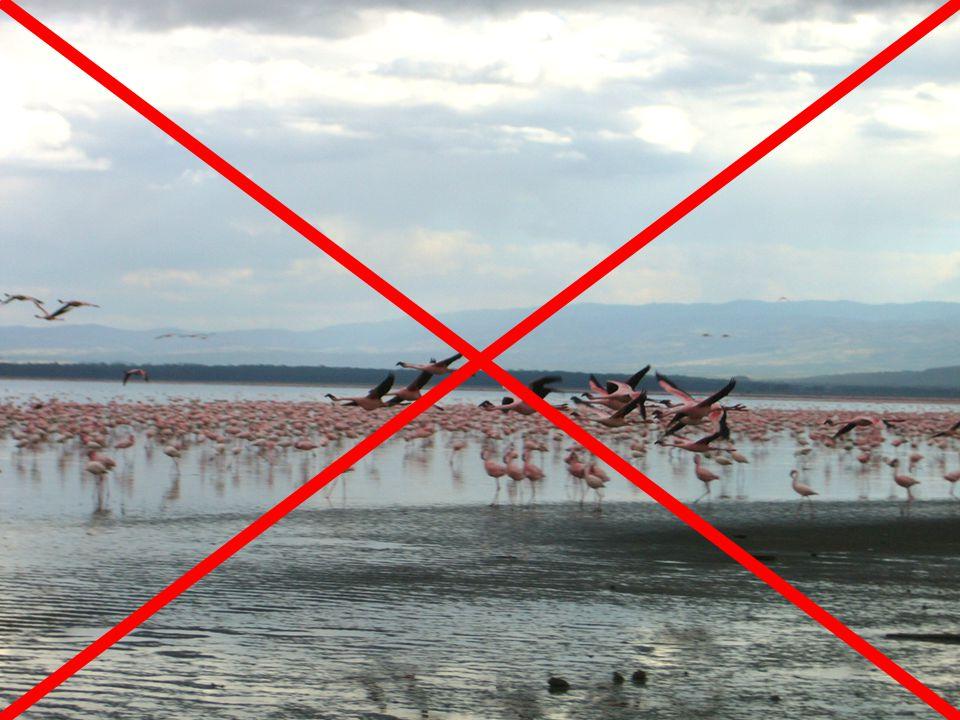 Lake Nakuru 6T project Problematiek •Ecologische ramp –Lake Nakuru is ondiep –Lake Nakuru is zout –Flamingo s leven van zoutwater-kril in ondiep water –Door ontbossing verandert permanente langzame vulling in snelle vulling afgewisseld met lange periodes zonder vulling –Zoutgehalte en niveau fluctuaties –Het einde van Lake Nakuru's biotoop?