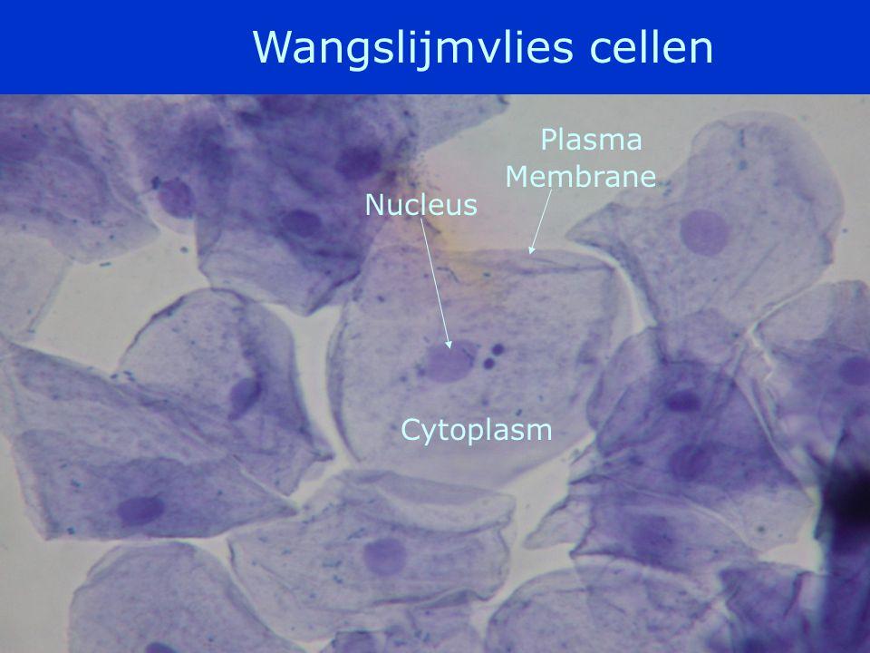 Bouw dierlijke cel •Celmembraan •Cytoplasma •Kern –Kernmembraan –Kernplasma